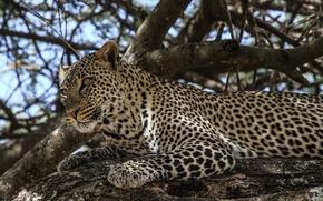 Picture face, stay, predator, spot, leopard, wild cat