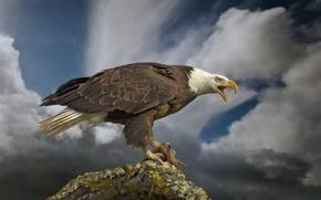 Picture bird, predator, bitches, Bald eagle