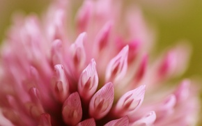Picture flower, macro, pink, clover