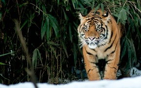 Picture cat, look, snow, tiger