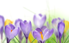 Picture leaves, spring, crocuses, white background, lilac