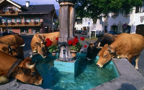 Picture flowers, the city, home, cows, fountain, bell, drink, Alps