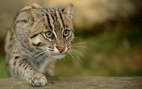 Picture cat, eyes, macro, blur, sneaks, cat-fisherman, Prionailurus viverrinus, speckled cat