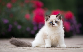 Picture cat, flowers, kitty, background, fluffy, garden, small, face, sitting, blue-eyed, marks, ragdoll, sweetie