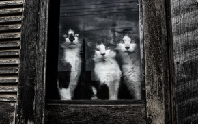 Picture look, cats, window, Kote
