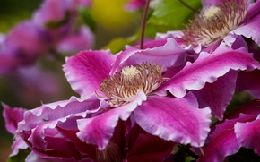 Picture macro, bright, petals, clematis, clematis