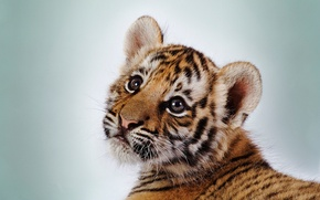 Picture eyes, face, strips, tiger, white background, tiger