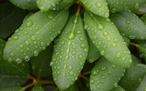 Picture greens, leaves, drops, macro, green, rain, linux, Linux, wallpapers, default, fedora