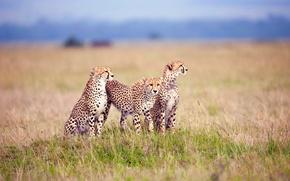 Picture grass, three, cheetahs, vechaslau