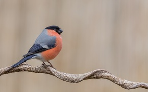 Picture branch, wildlife, bullfinch. bird