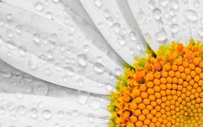 Picture flower, drops, macro, petals, Daisy