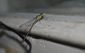 Picture wings, Dragonfly, insect