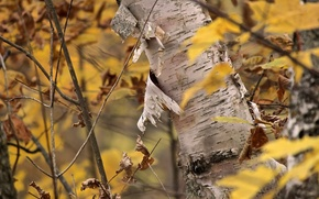 Picture autumn, tree, birch
