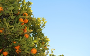 Picture leaves, tree, orange, fruit