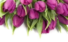 Picture drops, purple, tulips, wet