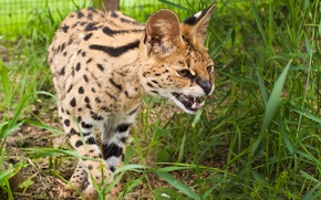 Picture cat, grass, fangs, Serval