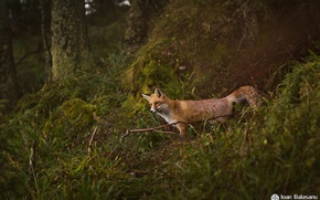 Picture predator, Fox, forest, nature