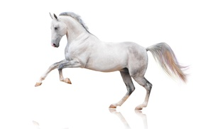 Picture horse, horse, white background