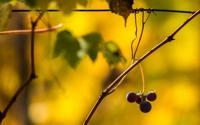 Picture background, color, grapes