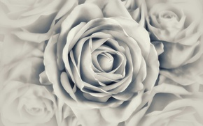 Picture photo, rose, black and white, Bud, Mariluz Rodriguez