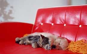 Picture kitty, sofa, dog