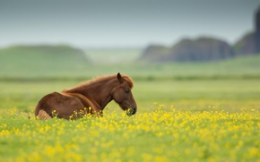 Picture flowers, animal, field, nature, summer, horse