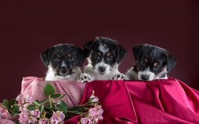 Picture dogs, flowers, puppies, trio, Trinity, The Belgian Griffon