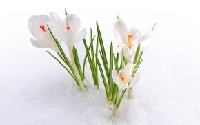 Picture snow, flowers, spring, crocuses, buds, primrose