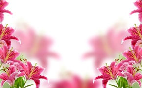 Wallpaper flowers, background, Lily, blur