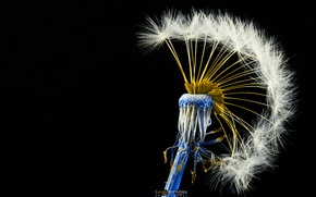 Picture dandelion, Mohawk, Centaureidin