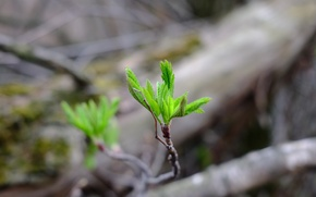 Picture greens, leaves, life, sprig, background, Rostock, spring, green, bokeh