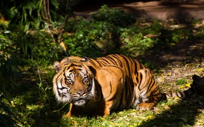 Picture cat, look, the sun, tiger, Sumatran