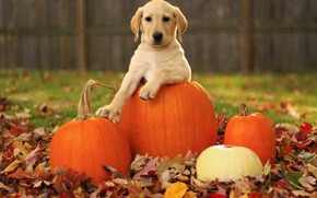 Picture autumn, leaves, dog, pumpkin, puppy, Labrador Retriever, pupkin, labrador retriever