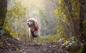 Picture autumn, forest, trees, fog, mood, dog, path, bokeh, Wallpaper from lolita777