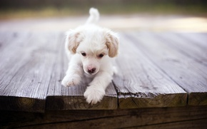 Picture bridge, dog, puppy