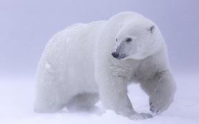 Picture snow, polar bear, Arctic