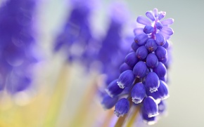 Picture macro, flowers, blur, blue, Muscari