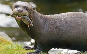 Picture look, face, fish, otter