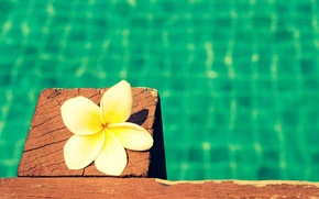 Picture white, flower, flowers, background, Wallpaper, wallpaper, flower, widescreen, background, full screen, HD wallpapers, flower, plumeria, …
