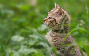 Wallpaper grass, kitty, wild cat