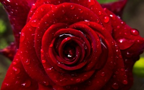 Picture macro, glare, rose, blur, Flower, petals, flowers, fujifilm xq2, Cali water