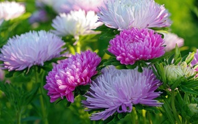 Picture autumn, macro, asters