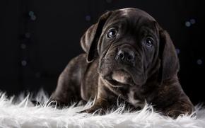 Picture cute, puppy, breed, cane Corso