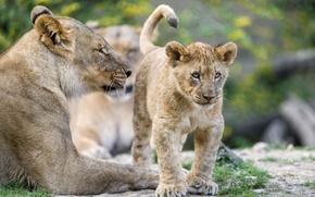 Picture cat, cub, kitty, lioness, lion, ©Tambako The Jaguar