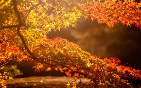 Picture autumn, leaves, the sun, glare, background, tree, branch