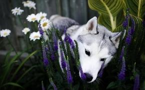 Wallpaper flowers, dog, garden, nose, puppy, flowerbed, husky, sniffing, Siberian husky