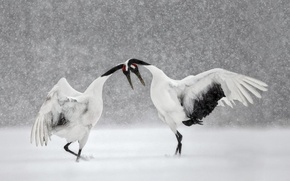 Picture winter, snow, bird, dance, Japan, Hokkaido, Japanese crane