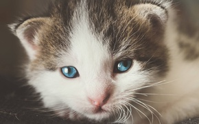 Picture cat, eyes, mustache, kitty, portrait, small, muzzle, cute, blue-eyed
