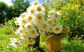 Picture chamomile, bouquet, garden, bench