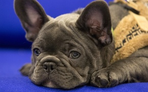 Picture look, dog, muzzle, bulldog, French bulldog